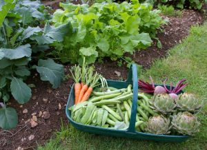 Basket of veg and lush, growing vegetables in a garden.